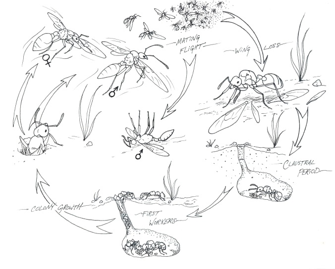 Ant life cycles are complicated and varied, but in almost all species the queens have wings and fly through the atmosphere to mate and find new places to live (drawing by Brittany Benson)