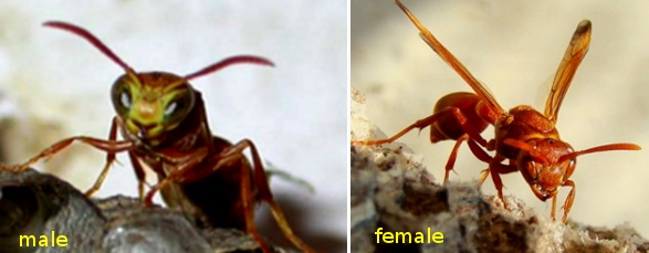 Fig. 1: Male (left) and female (right) R. marginata wasps.