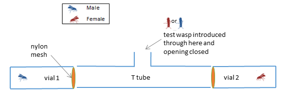 Fig. 3: A representation of the T-tube choice apparatus used to test whether female and male wasps are attracted to a member of the opposite sex that they can smell, but cannot see. Neither female nor male wasps showed a preference for either the same or the opposite sex.