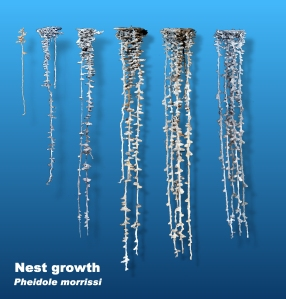 A figure illustrating P. morrisi nest growth from left to right.