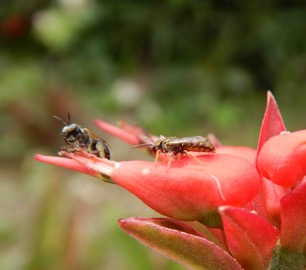 Braunsapis puangensis (L) conferring with Homalictus (R), about the evolution of casteless societies in bees (photo courtesy of Mike Schwarz).