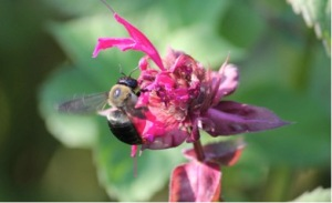 Xylocopa virginica on bee balm (Monarda) in late summer