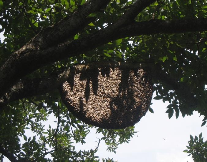 apis-dorsata-hive