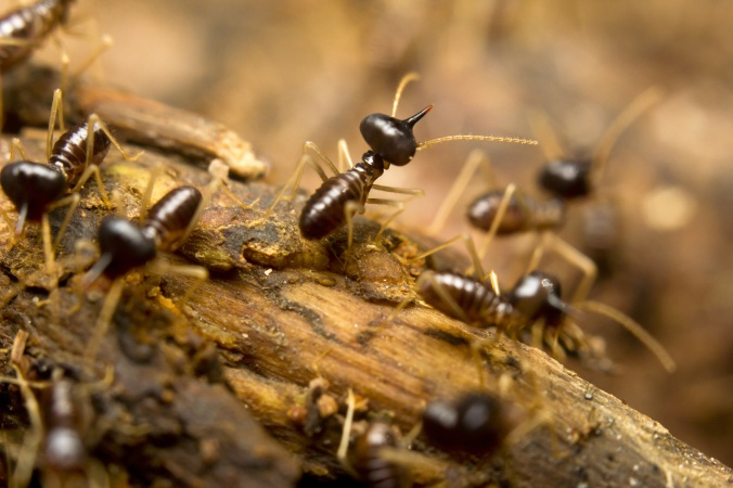 Macro of termites on the forest floor, Borneo, Malaysia